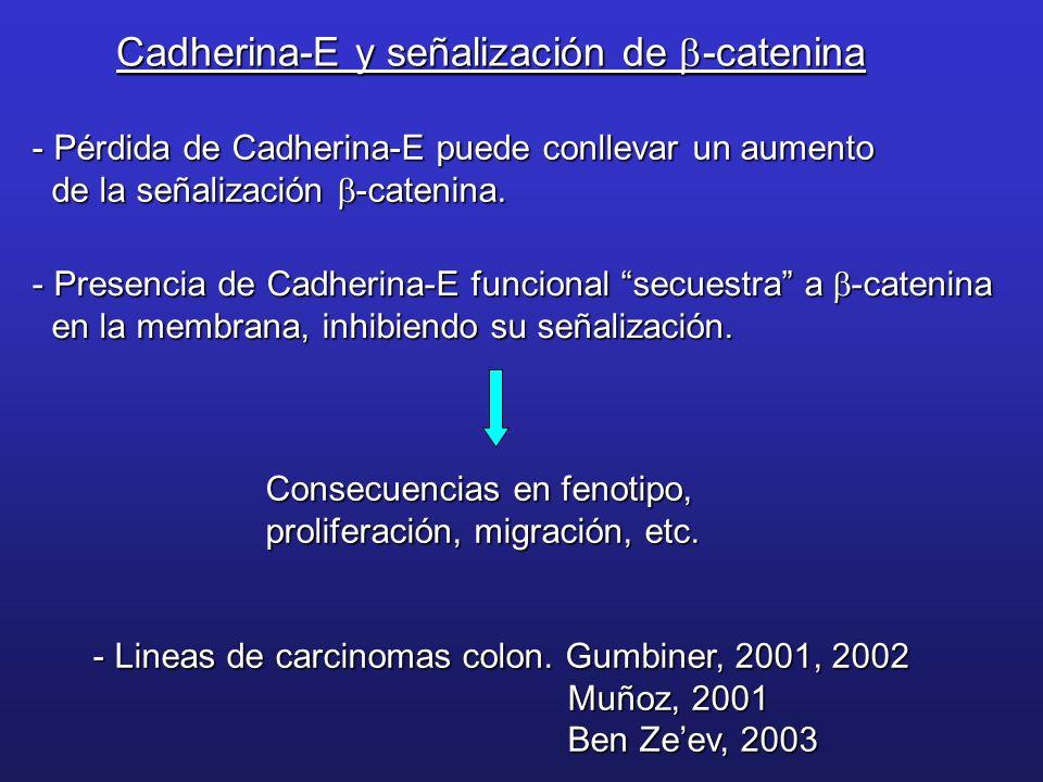 Cadherina-E y señalización de -catenina - Pérdida de Cadherina-E puede conllevar un aumento de la señalización -catenina. de la señalización -catenina