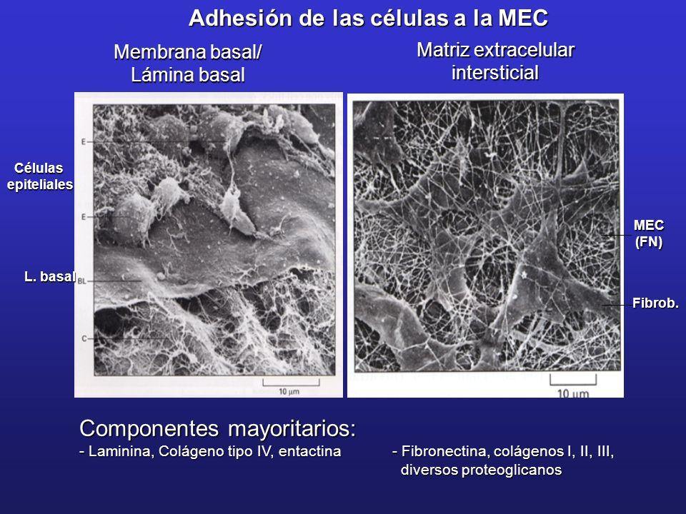 Célulasepiteliales L. basal Adhesión de las células a la MEC Fibrob. MEC(FN) Componentes mayoritarios: - Laminina, Colágeno tipo IV, entactina - Fibro