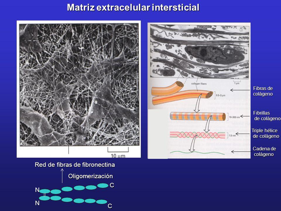 Cadena de colágeno colágeno Triple hélice de colágeno de colágeno Fibrillas Fibras de colágeno Matriz extracelular intersticial Red de fibras de fibro