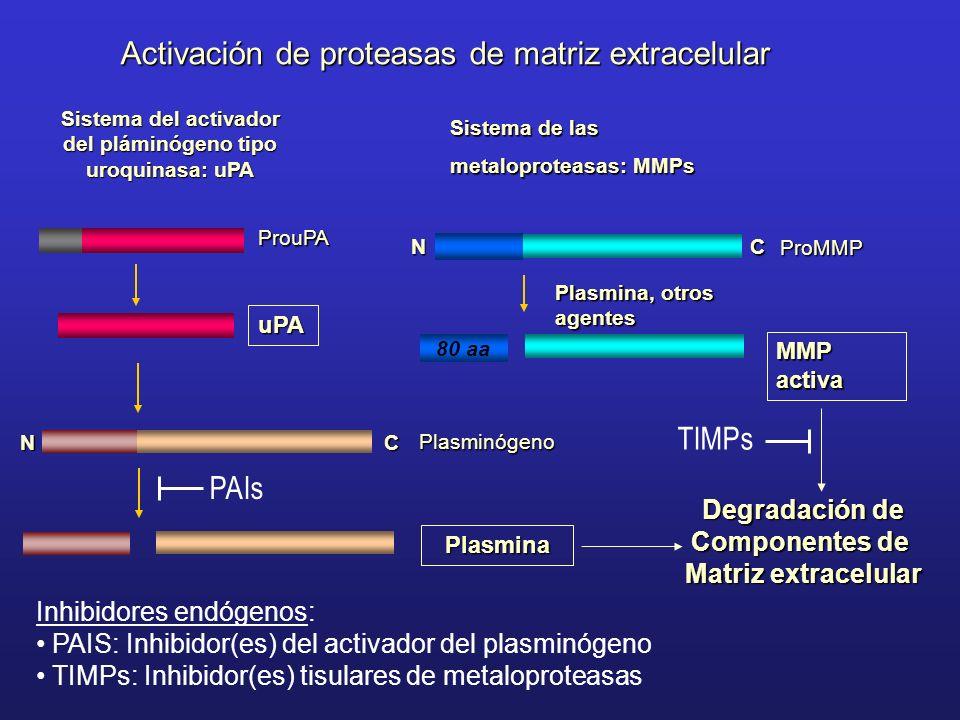 MMP activa 80 aa Plasmina, otros agentes Activación de proteasas de matriz extracelular Sistema de las metaloproteasas: MMPs Sistema del activador del