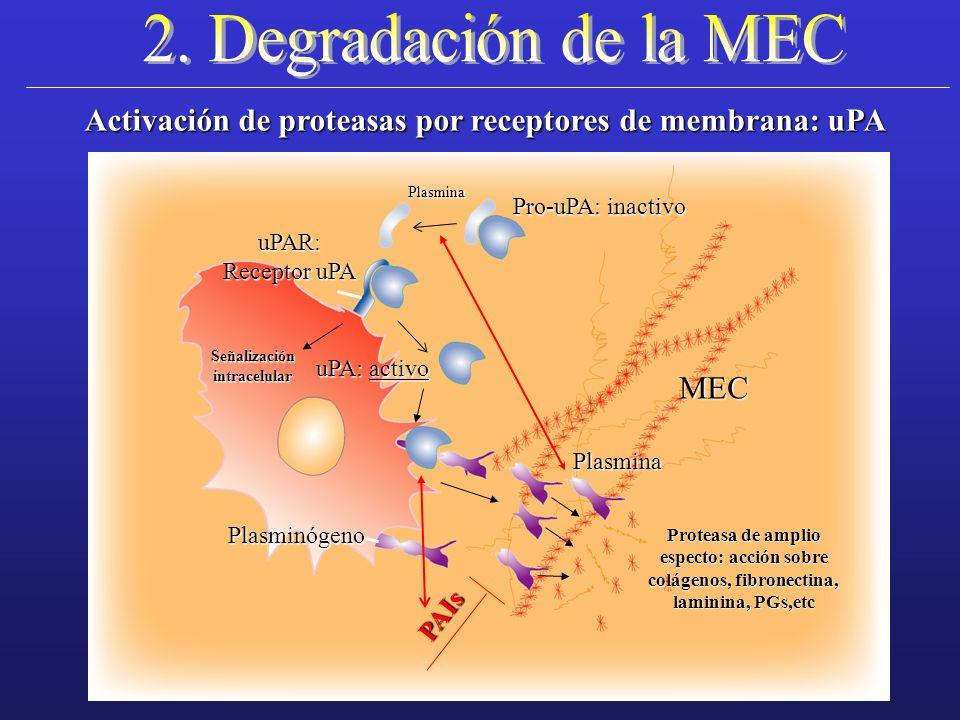 Activación de proteasas por receptores de membrana: uPA uPA: activo Plasmina Pro-uPA: inactivo uPAR: Receptor uPA MEC PAIs Proteasa de amplio especto:
