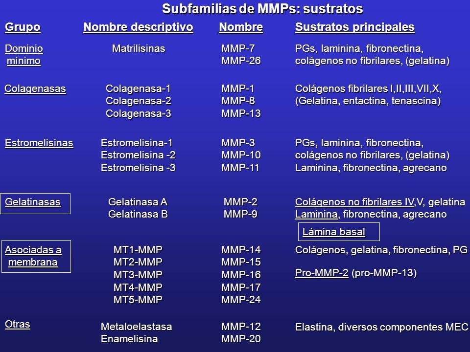 Subfamilias de MMPs: sustratos Grupo Nombre descriptivo Sustratos principales Nombre DominiomínimoMMP-7MMP-26Matrilisinas PGs, laminina, fibronectina,