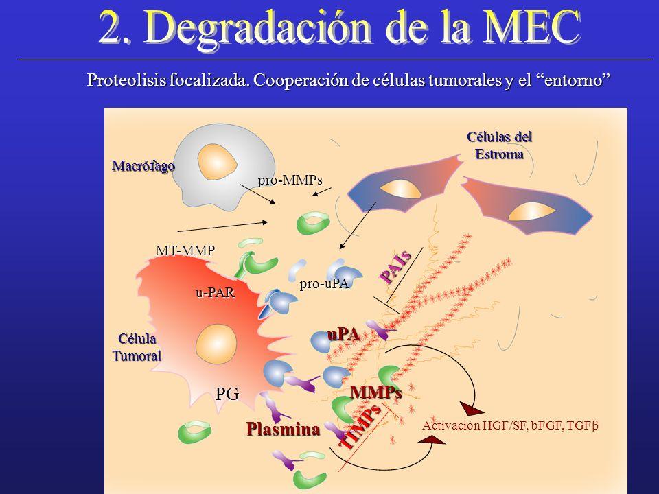 u-PAR Proteolisis focalizada. Cooperación de células tumorales y el entorno MT-MMP pro-MMPs pro-uPA MMPs uPA Plasmina PG CélulaTumoral Macrófago Célul