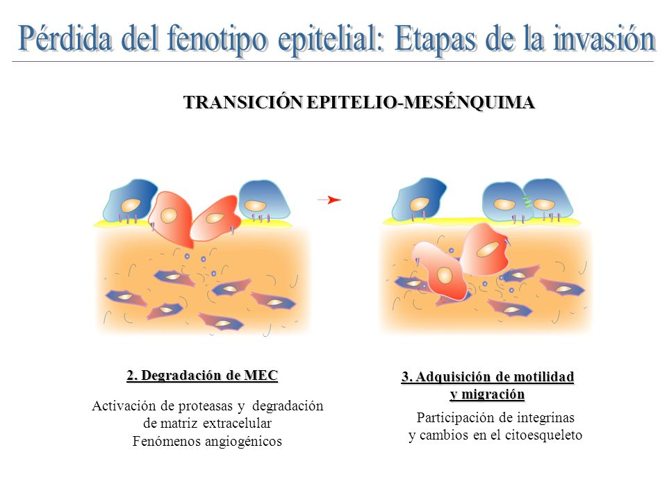 2. Degradación de MEC 3. Adquisición de motilidad y migración Participación de integrinas y cambios en el citoesqueleto Activación de proteasas y degr