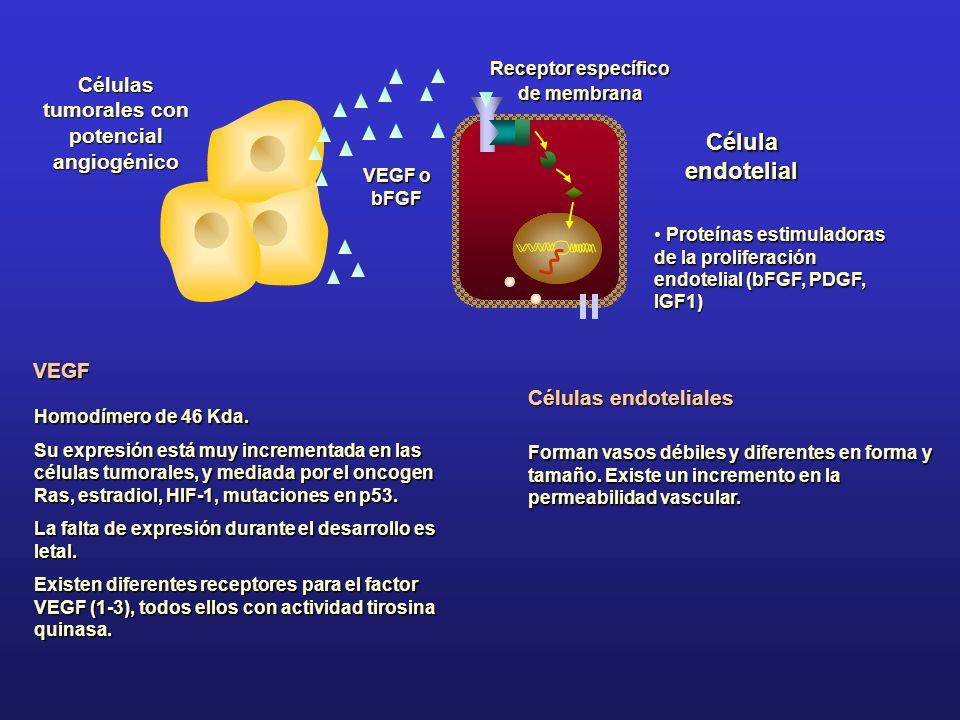 VEGF Homodímero de 46 Kda. Su expresión está muy incrementada en las células tumorales, y mediada por el oncogen Ras, estradiol, HIF-1, mutaciones en