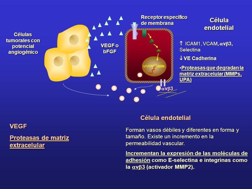 Células tumorales con potencial angiogénico VEGF o bFGF Receptor específico de membrana Célula endotelial ICAM1, VCAM, v 3, Selectina ICAM1, VCAM, v 3
