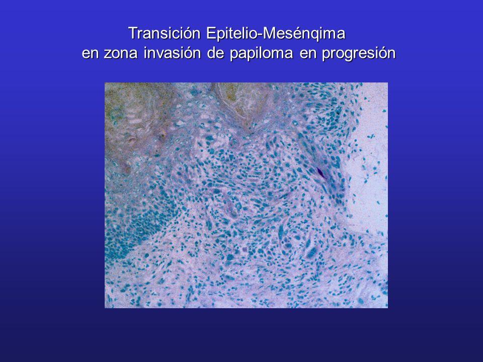 Pérdida de adhesión célula-célula Cambios en adhesión célula-MEC Degradación de MEC (activación de proteasas matriz) Adquisición de motilidad y migración Cadherina-EIntegrinas Lámina Basal Etapas de la invasión TransiciónEpitelio-Mesénquima(TEM) AdhesiónCélula-MEC Cambios en adhesión célula-MEC