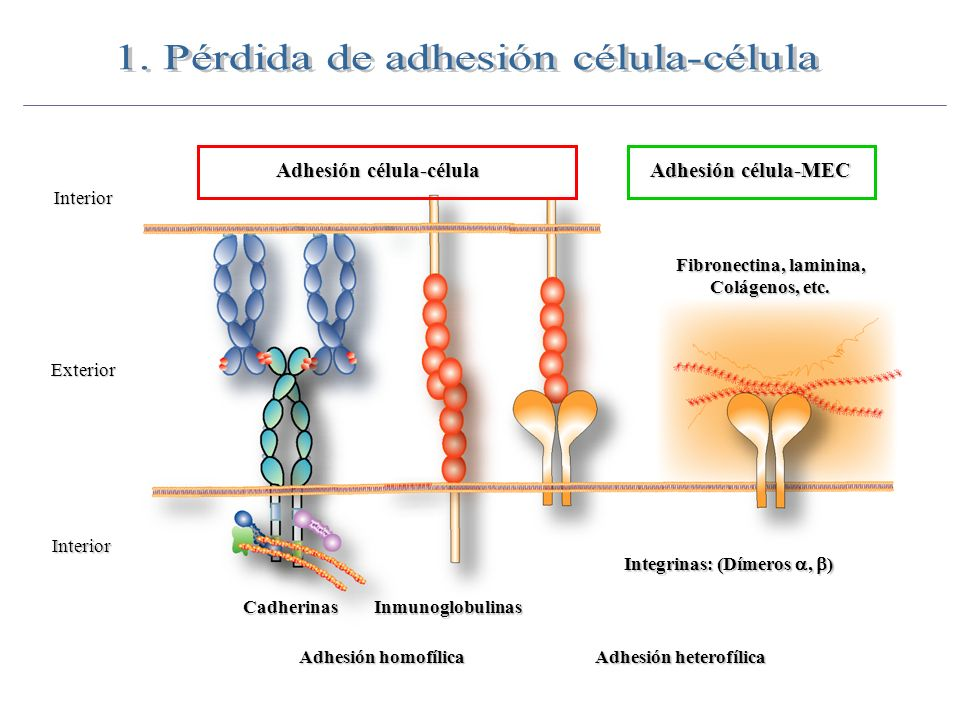 Adhesión célula-célula Exterior Interior Interior Adhesión homofílica Cadherinas Integrinas: (Dímeros, ) Inmunoglobulinas Adhesión heterofílica Adhesi