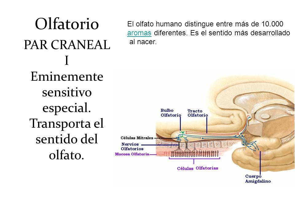 Olfatorio PAR CRANEAL I Eminemente sensitivo especial. Transporta el sentido del olfato. El olfato humano distingue entre más de 10.000 aromasaromas d