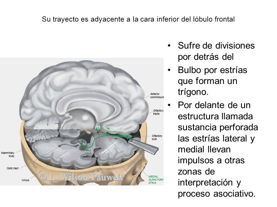 Su trayecto es adyacente a la cara inferior del lóbulo frontal Sufre de divisiones por detrás del Bulbo por estrías que forman un trígono. Por delante