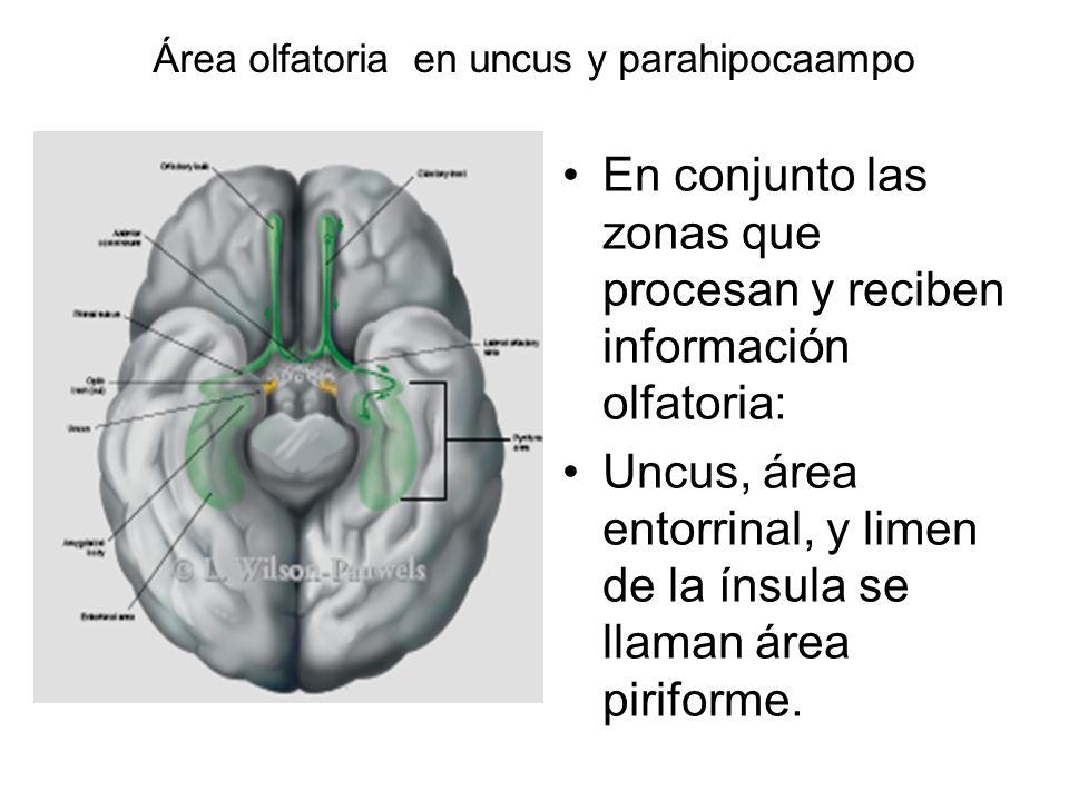 Área olfatoria en uncus y parahipocaampo En conjunto las zonas que procesan y reciben información olfatoria: Uncus, área entorrinal, y limen de la íns