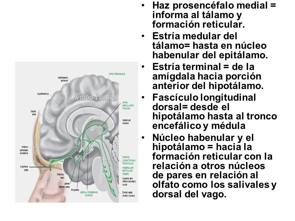 Haz prosencéfalo medial = informa al tálamo y formación reticular. Estría medular del tálamo= hasta en núcleo habenular del epitálamo. Estría terminal