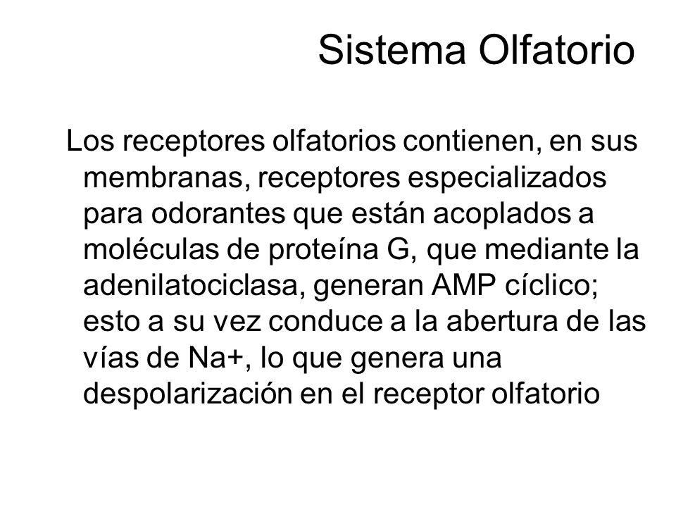 Sistema Olfatorio Los receptores olfatorios contienen, en sus membranas, receptores especializados para odorantes que están acoplados a moléculas de p
