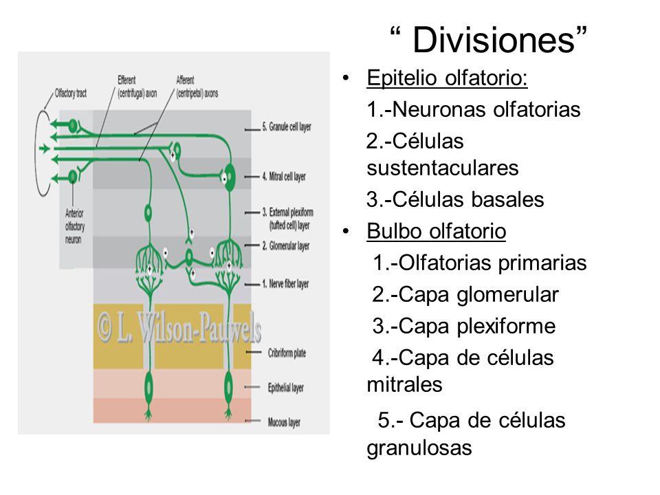 Divisiones Epitelio olfatorio: 1.-Neuronas olfatorias 2.-Células sustentaculares 3.-Células basales Bulbo olfatorio 1.-Olfatorias primarias 2.-Capa gl