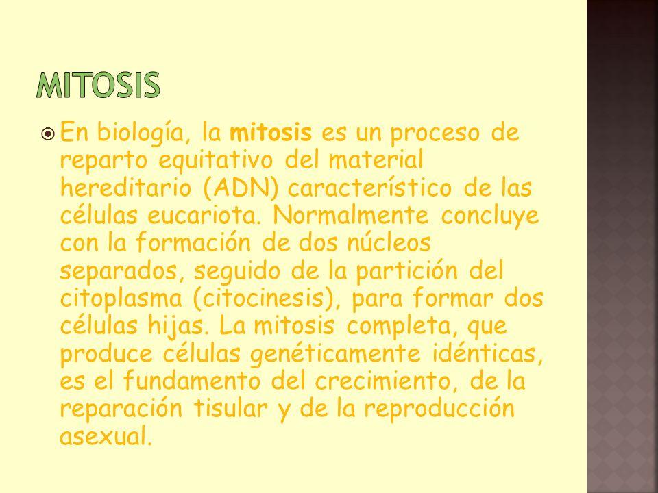 En biología, la mitosis es un proceso de reparto equitativo del material hereditario (ADN) característico de las células eucariota. Normalmente conclu