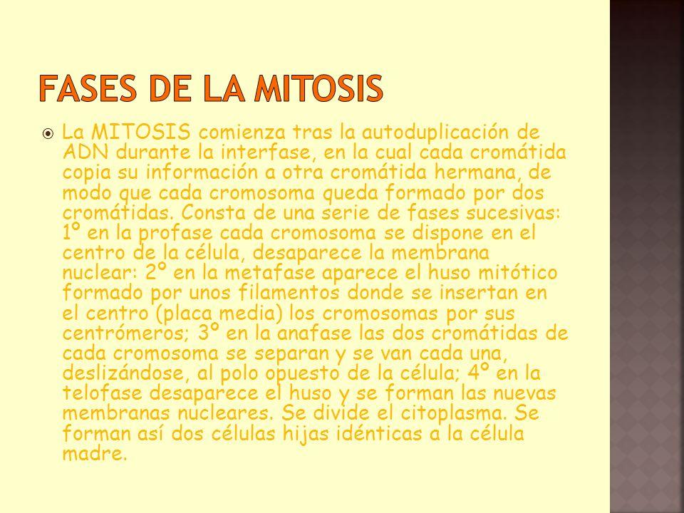 La MITOSIS comienza tras la autoduplicación de ADN durante la interfase, en la cual cada cromátida copia su información a otra cromátida hermana, de m