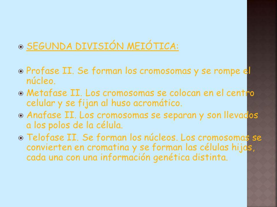SEGUNDA DIVISIÓN MEIÓTICA: Profase II. Se forman los cromosomas y se rompe el núcleo. Metafase II. Los cromosomas se colocan en el centro celular y se