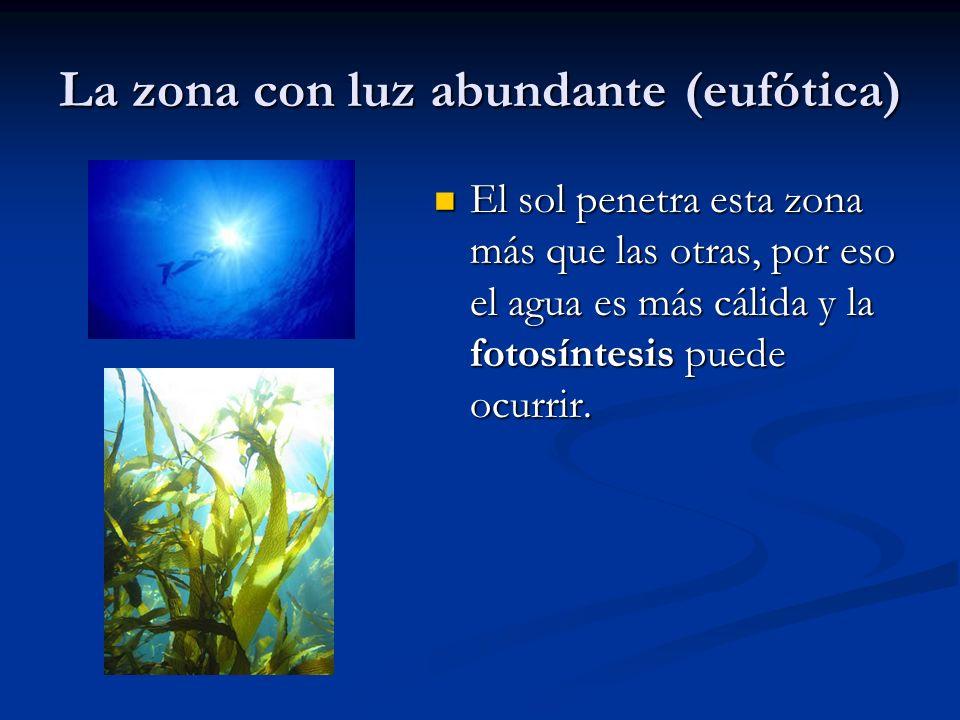 La zona con luz abundante (eufótica) El sol penetra esta zona más que las otras, por eso el agua es más cálida y la fotosíntesis puede ocurrir.