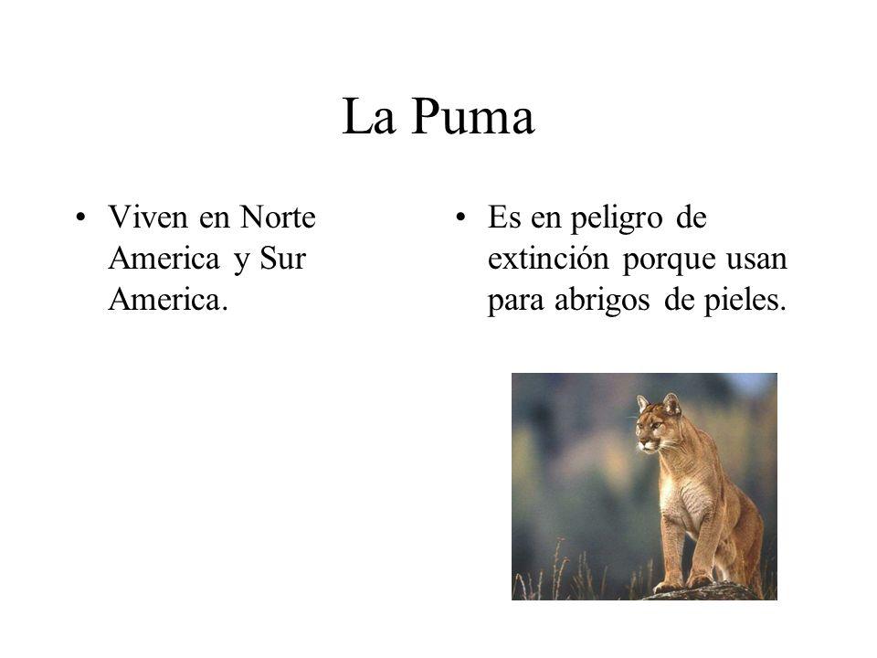 La Puma Viven en Norte America y Sur America. Es en peligro de extinción porque usan para abrigos de pieles.