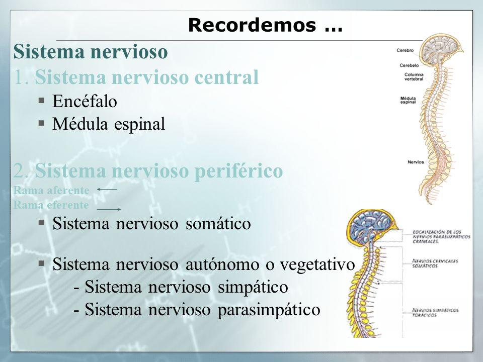 Recordemos … Sistema nervioso 1. Sistema nervioso central Encéfalo Médula espinal 2. Sistema nervioso periférico Rama aferente Rama eferente Sistema n