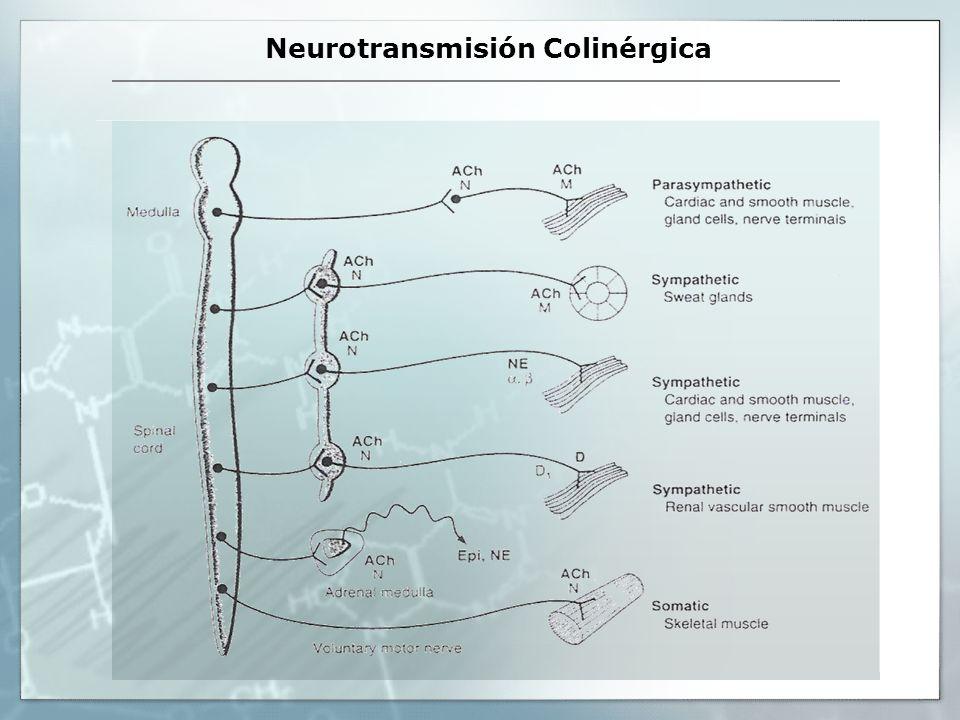 Neurotransmisión Colinérgica