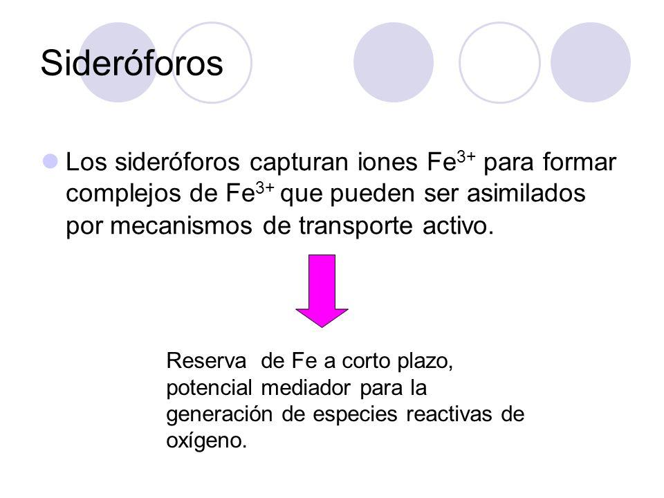 Sideróforos Los sideróforos capturan iones Fe 3+ para formar complejos de Fe 3+ que pueden ser asimilados por mecanismos de transporte activo. Reserva