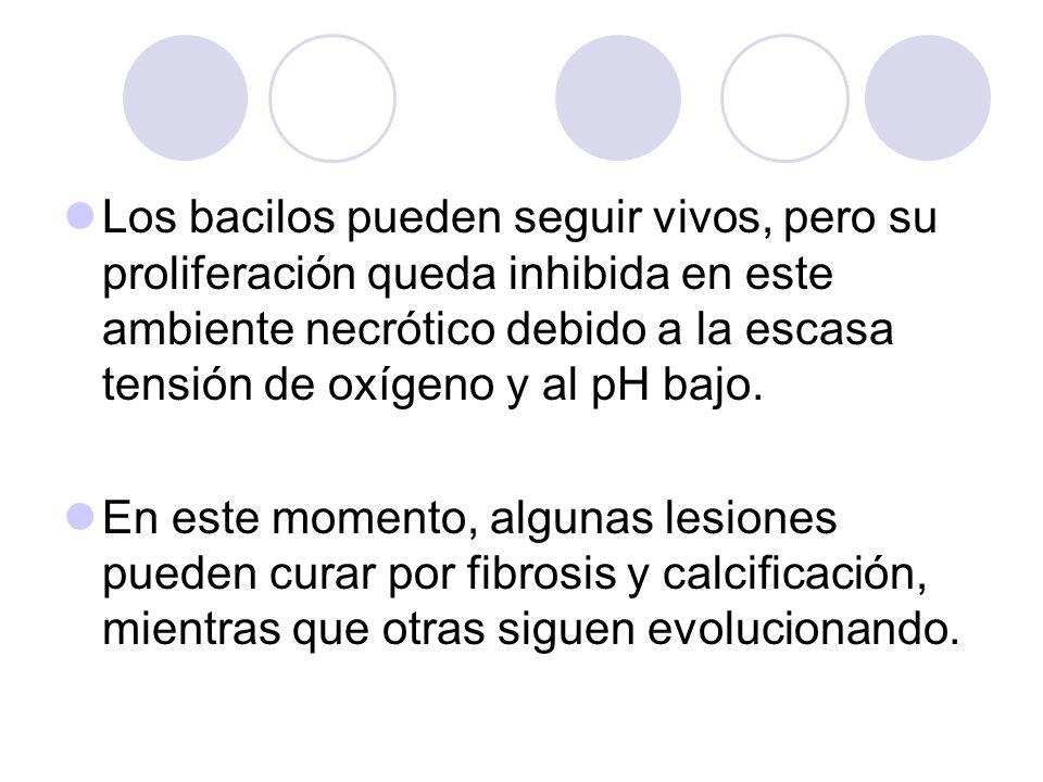 Los bacilos pueden seguir vivos, pero su proliferación queda inhibida en este ambiente necrótico debido a la escasa tensión de oxígeno y al pH bajo. E