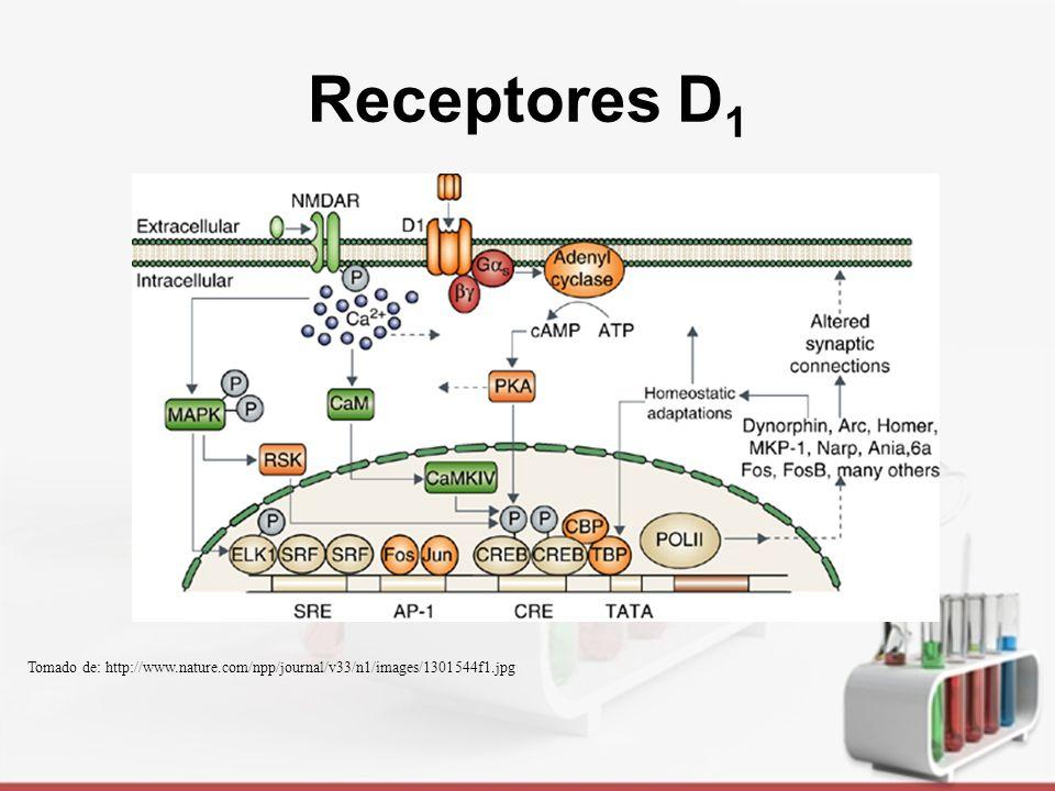 Receptores D 2 GPCR Oligodendrocitos, astrocitos, células ependimales (plexos coroideos) Inhibición de prolactina Control de movimiento y conducta