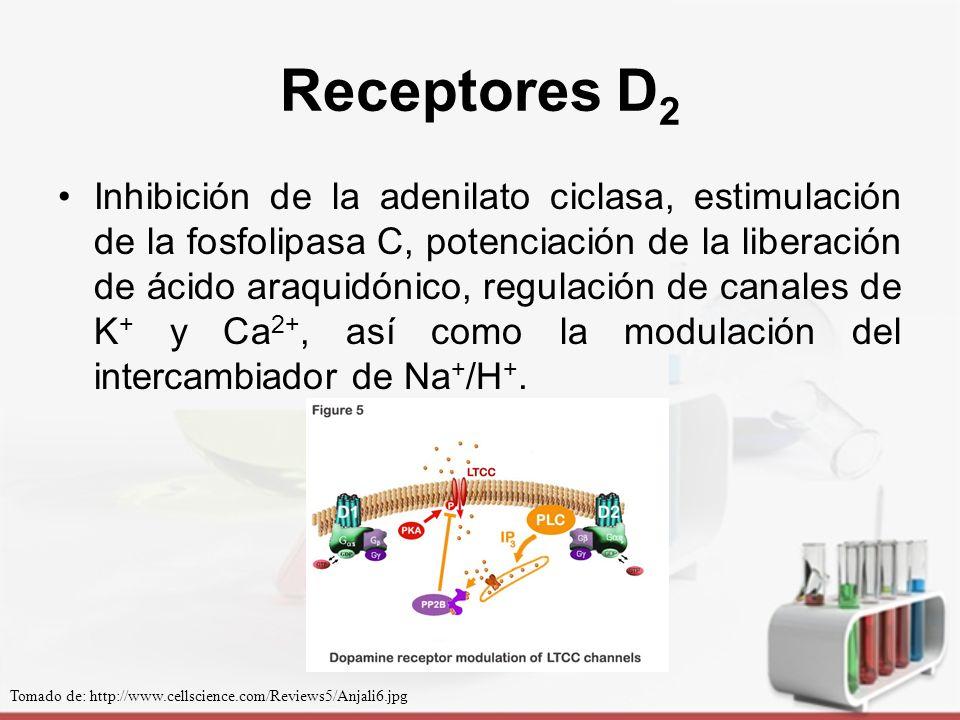 Receptores D 2 Dos isoformas del receptor denominadas D 2S (corto) y D 2L (largo).
