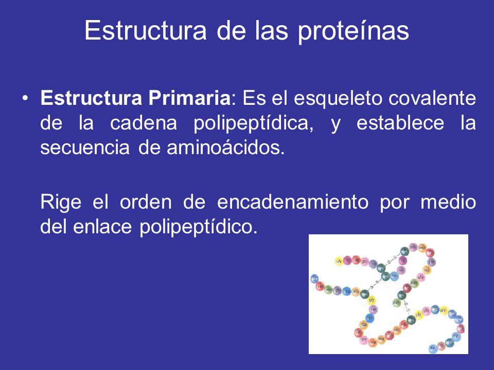 Estructura de las proteínas Estructura Primaria: Es el esqueleto covalente de la cadena polipeptídica, y establece la secuencia de aminoácidos. Rige e