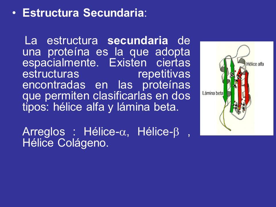 Estructura Secundaria: La estructura secundaria de una proteína es la que adopta espacialmente. Existen ciertas estructuras repetitivas encontradas en