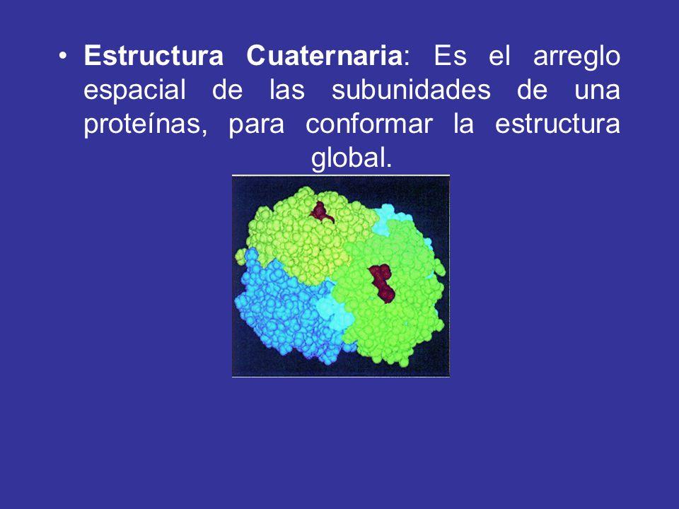 Estructura Cuaternaria: Es el arreglo espacial de las subunidades de una proteínas, para conformar la estructura global.