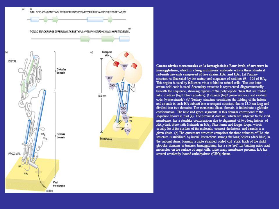 Cuatro niveles estructurales en la hemaglutinina Four levels of structure in hemagglutinin, which is a long multimeric molecule whose three identical