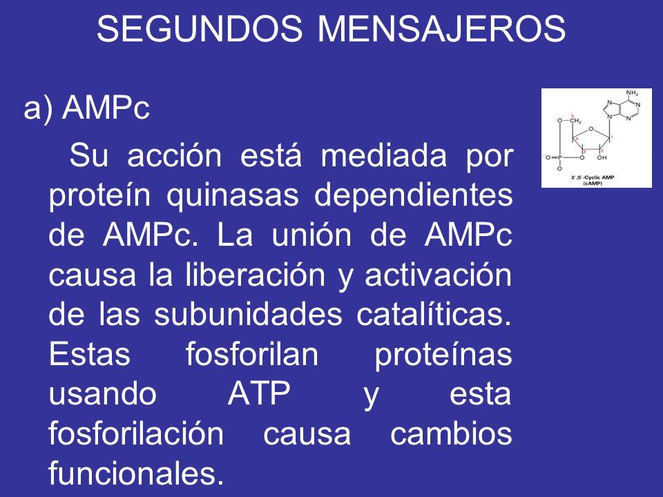 SEGUNDOS MENSAJEROS a) AMPc Su acción está mediada por proteín quinasas dependientes de AMPc. La unión de AMPc causa la liberación y activación de las