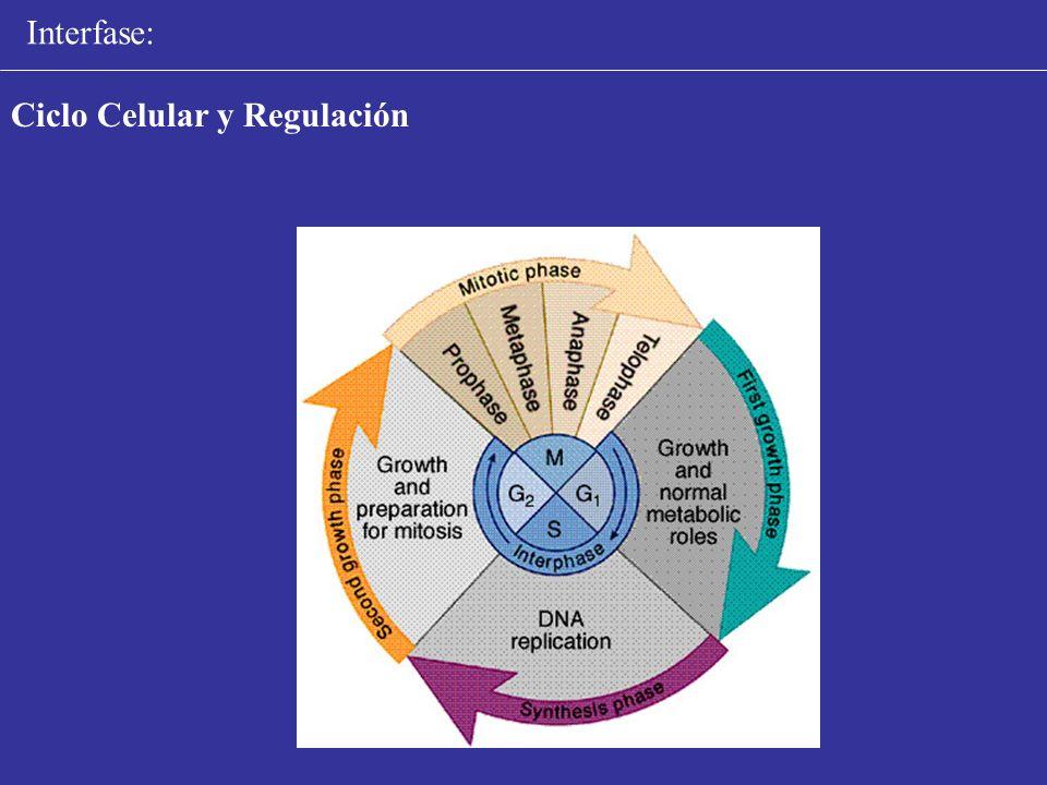 Interfase: Ciclo Celular y Regulación