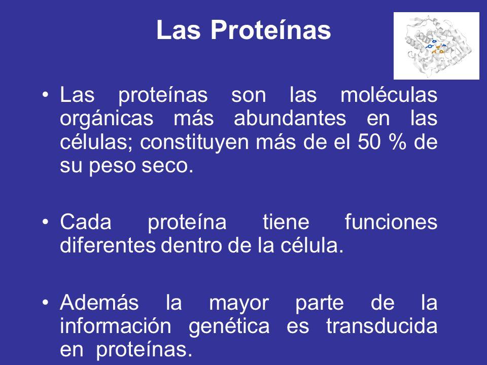 Las Proteínas Las proteínas son las moléculas orgánicas más abundantes en las células; constituyen más de el 50 % de su peso seco. Cada proteína tiene