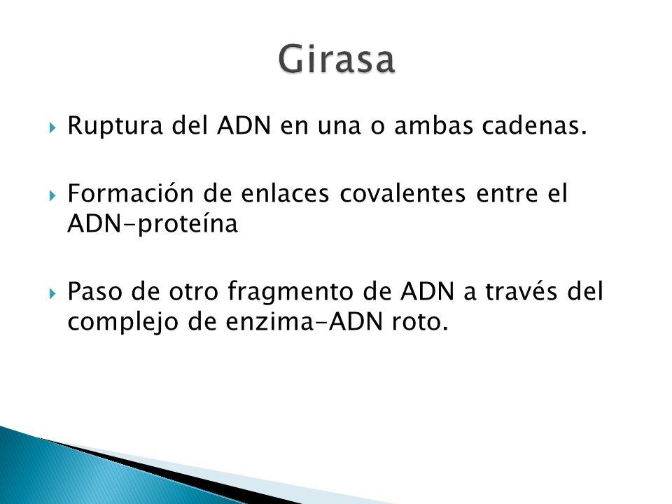 Ruptura del ADN en una o ambas cadenas. Formación de enlaces covalentes entre el ADN-proteína Paso de otro fragmento de ADN a través del complejo de e