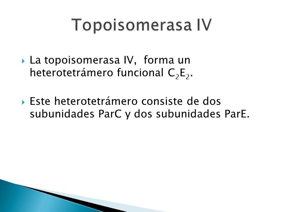 La topoisomerasa IV, forma un heterotetrámero funcional C 2 E 2. Este heterotetrámero consiste de dos subunidades ParC y dos subunidades ParE.