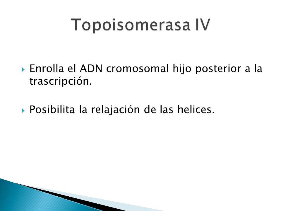 Enrolla el ADN cromosomal hijo posterior a la trascripción. Posibilita la relajación de las helices.