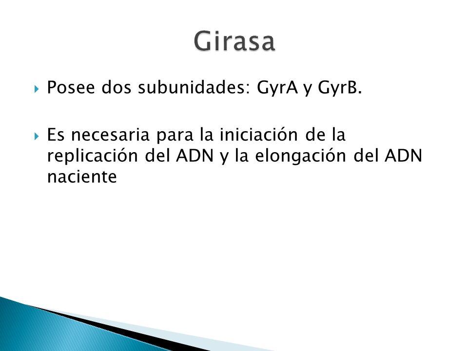 Posee dos subunidades: GyrA y GyrB. Es necesaria para la iniciación de la replicación del ADN y la elongación del ADN naciente