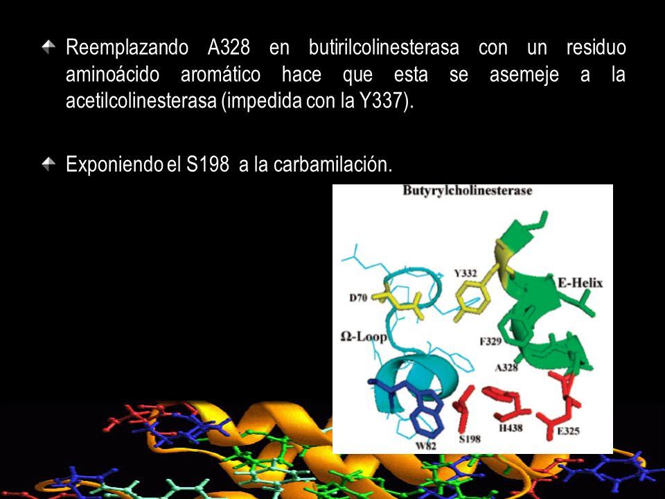 Reemplazando A328 en butirilcolinesterasa con un residuo aminoácido aromático hace que esta se asemeje a la acetilcolinesterasa (impedida con la Y337)
