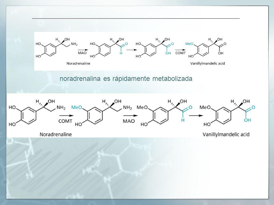 noradrenalina es rápidamente metabolizada
