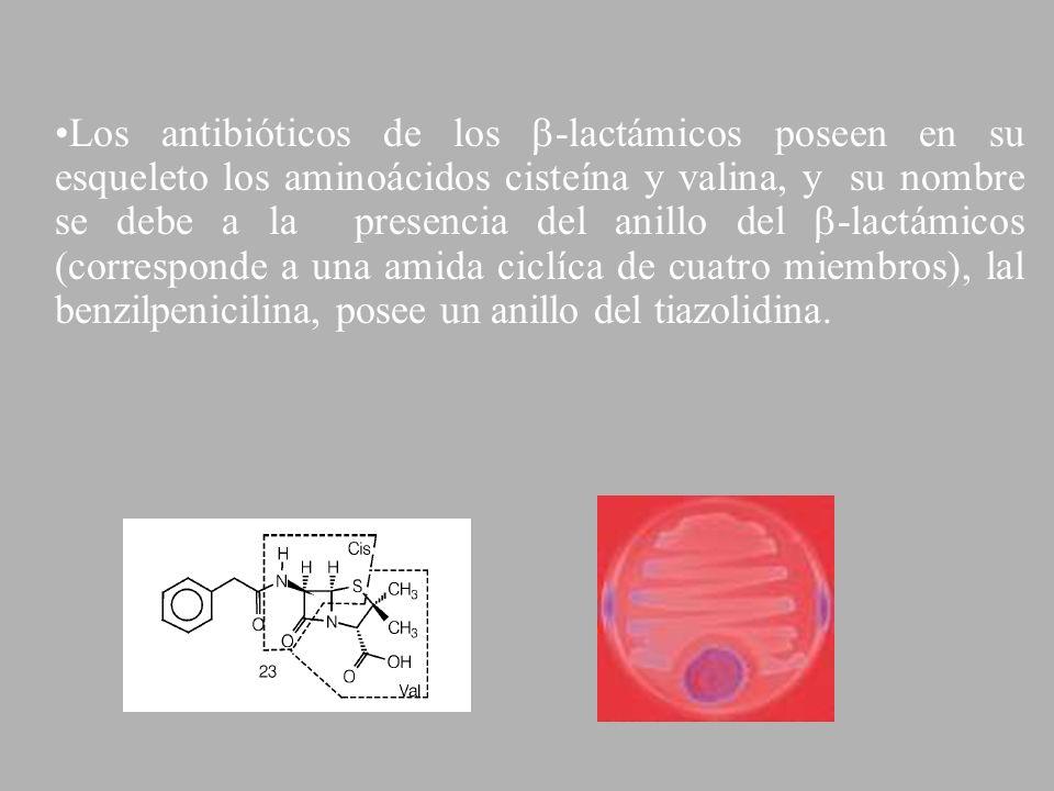 Los antibióticos de los -lactámicos poseen en su esqueleto los aminoácidos cisteína y valina, y su nombre se debe a la presencia del anillo del -lactá