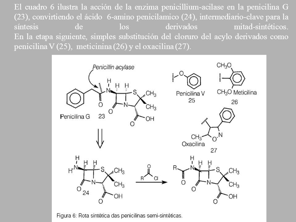 El cuadro 6 ilustra la acción de la enzima penicillium-acilase en la penicilina G (23), convirtiendo el ácido 6-amino penicilamico (24), intermediario