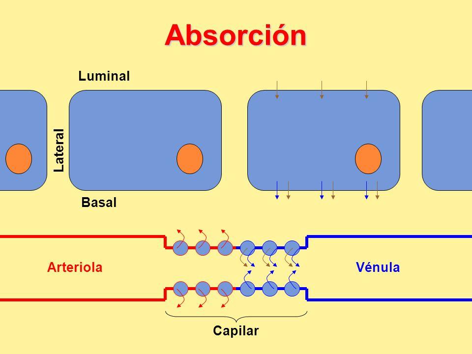 Absorción Lateral Basal Luminal ArteriolaVénula Capilar