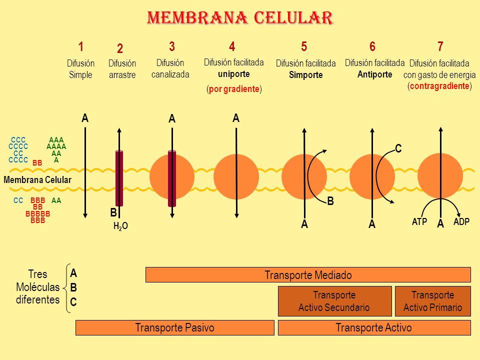 Membrana Celular CCC CCCC CC CCCC AAA AAAA AA A BBB BB BBBBB BBB CC BB AA A A A A AA B C ATPADP Tres Moléculas diferentes B H2OH2O ABCABC Transporte ActivoTransporte Pasivo Transporte Activo Primario Transporte Activo Secundario Transporte Mediado Difusión arrastre 2 1 Difusión Simple 3 Difusión canalizada 4 Difusión facilitada uniporte ( por gradiente ) 5 Difusión facilitada Simporte Difusión facilitada con gasto de energia ( contragradiente ) 76 Difusión facilitada Antiporte Membrana Celular