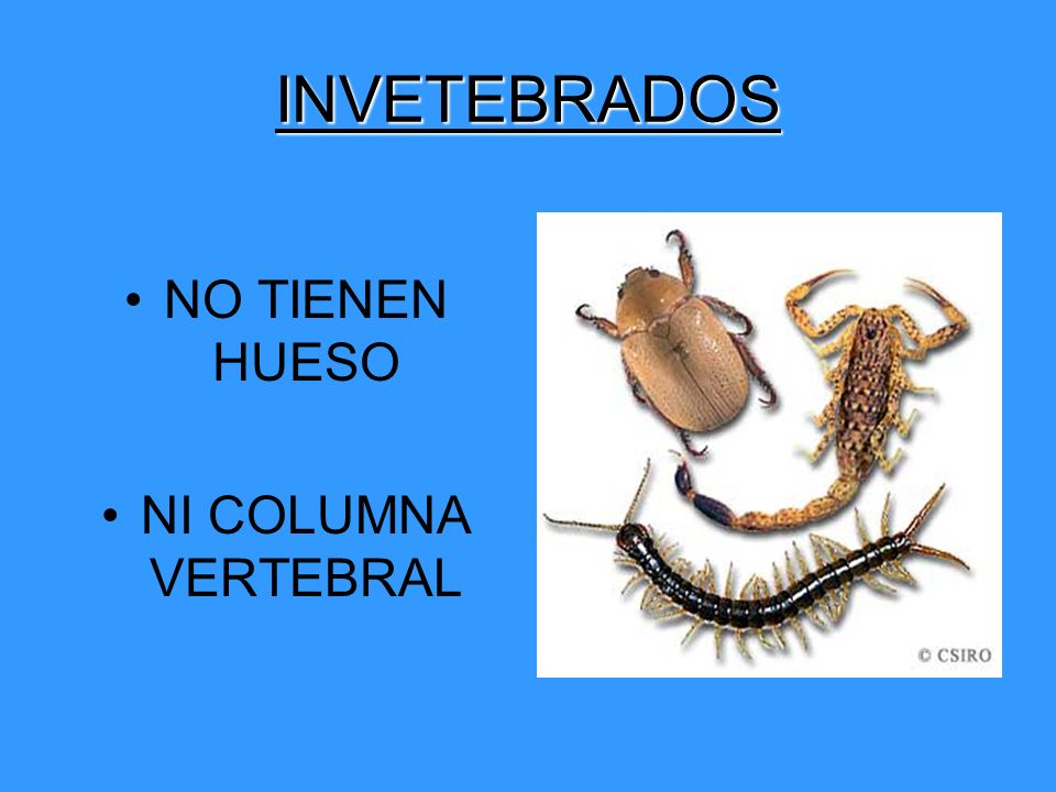 INVETEBRADOS NO TIENEN HUESO NI COLUMNA VERTEBRAL