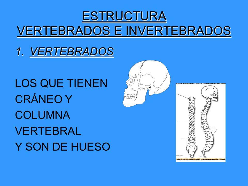 ESTRUCTURA VERTEBRADOS E INVERTEBRADOS 1.VERTEBRADOS LOS QUE TIENEN CRÁNEO Y COLUMNA VERTEBRAL Y SON DE HUESO