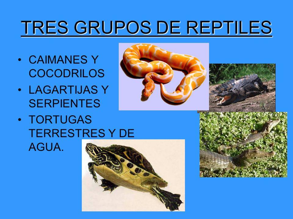 TRES GRUPOS DE REPTILES CAIMANES Y COCODRILOS LAGARTIJAS Y SERPIENTES TORTUGAS TERRESTRES Y DE AGUA.