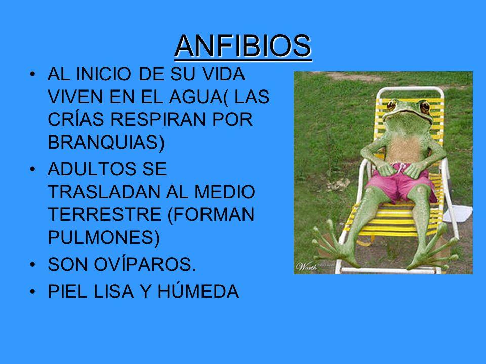 ANFIBIOS AL INICIO DE SU VIDA VIVEN EN EL AGUA( LAS CRÍAS RESPIRAN POR BRANQUIAS) ADULTOS SE TRASLADAN AL MEDIO TERRESTRE (FORMAN PULMONES) SON OVÍPAR